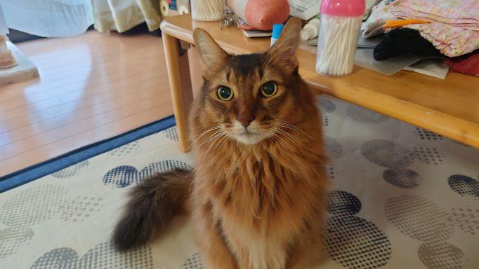 曇り無き眼でものごとを見定め、決める猫、ソマリのチー