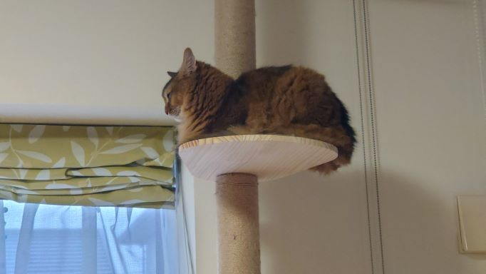 キャットタワーでボーとしている猫、ソマリのチー