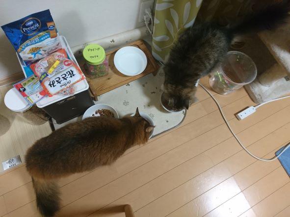 仲良く二匹で食事をする猫たち、ノルウェージャンフォレストキャットのトトとソマリのチー