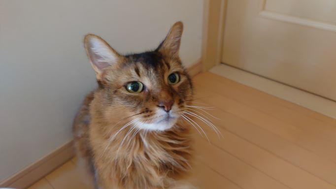 じっと見つめてくる猫、ソマリのチー
