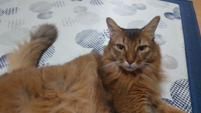 リラックスする猫、ソマリのチー