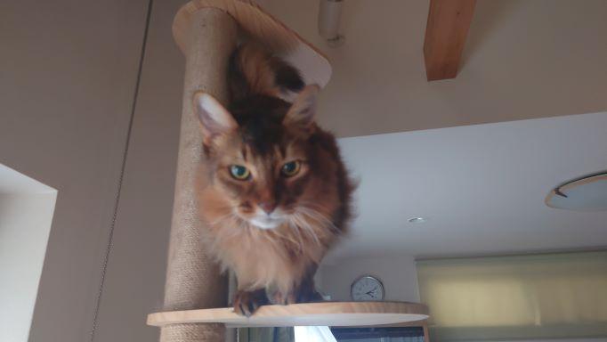 掃除から逃げてキャットタワーに逃げる猫、ソマリのチー