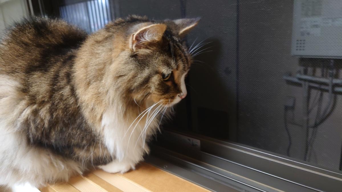 窓辺でキリギリスを発見してじっと見つめる猫、ノルウェージャンフォレストキャットのトト