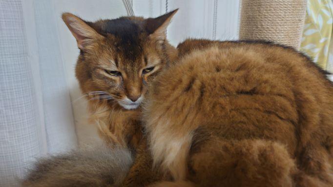キャットタワーで不機嫌そうにくつろぐ猫、ソマリのチー