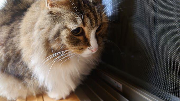 窓辺でキリギリスを発見してじっと見つめる猫のアップ、ノルウェージャンフォレストキャットのトト