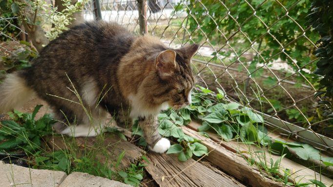 庭で獲物を見つけた猫、ノルウェージャンフォレストキャットのトト