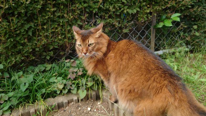 お散歩中目つきが鋭くなる猫、ソマリのチー