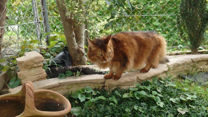 縄張りをチェックする猫、ソマリのチー