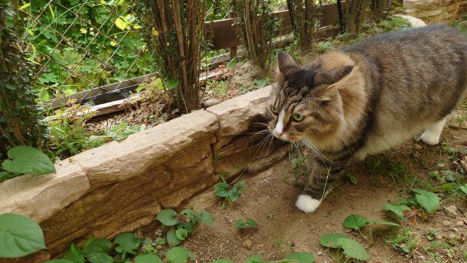 庭の隅々をニャルソック中の猫、ノルウェージャンフォレストキャットのトト