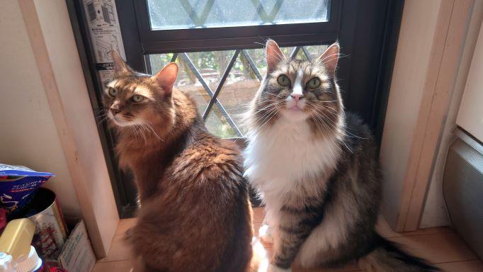 目で散歩の催促をする猫、ノルウェージャンフォレストキャットのトトとソマリのチー