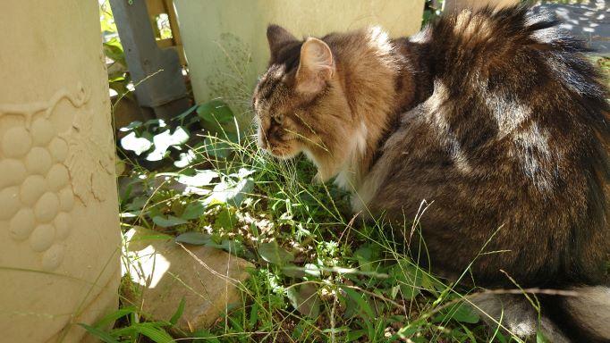 何かを発見した猫、ノルウェージャンフォレストキャットのトト