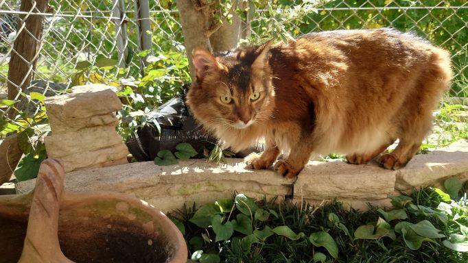 最後はいつものお気に入りの場所へ移動する猫、ソマリのチー
