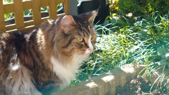 猫草の森の跡地をニャルソックする猫、ノルウェージャンフォレストキャットのトト