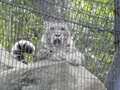 [動物][多摩動物公園] シンギズ