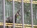 [動物][多摩動物公園] 08年5月に新しく増えた「シャモア」
