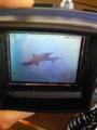野性のイルカとウミガメに会えたなう