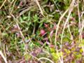 [植物][木]ヒメシャクナゲ