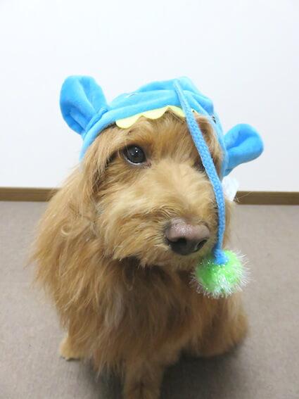 ちょうちんあんこうの帽子をかぶった犬の写真