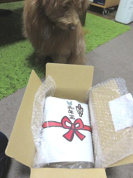 犬用お年玉を見ている犬の写真