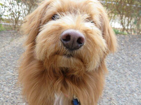 """""""飼い主を見上げるトイプードルMIX犬の写真/"""