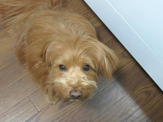 """""""食べ物をおねだりするトイプードルMIX犬の写真/"""