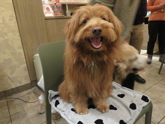 ドッグカフェで椅子に座る犬の写真