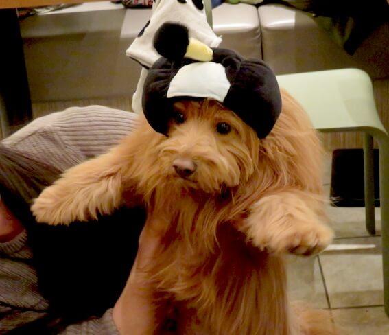 殿様をかぶらされる犬の写真