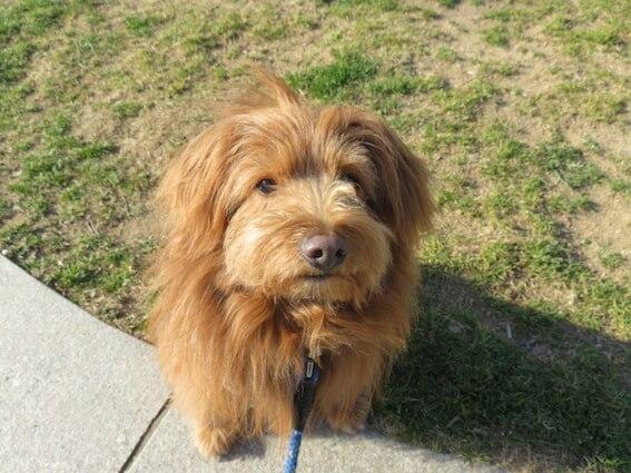 飼い主を見上げておすわりする犬の写真