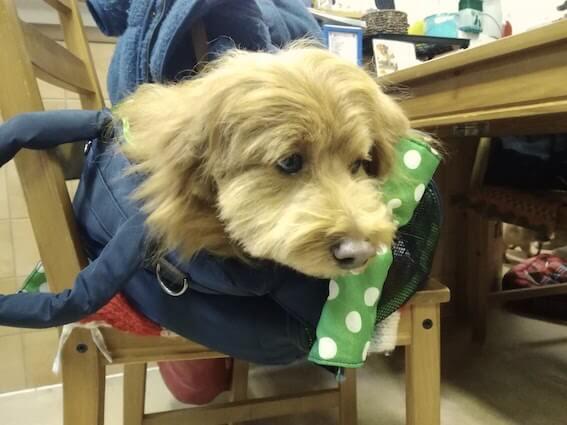 キャリーバッグに入っている犬の写真