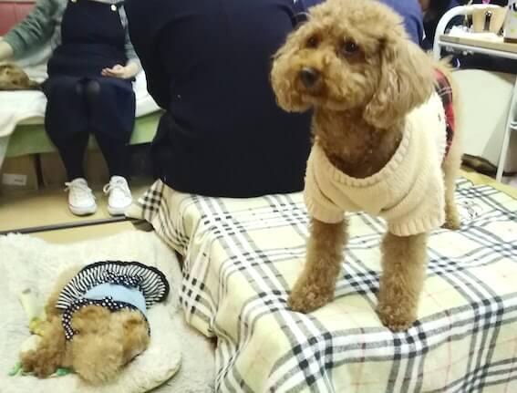 保護犬のトイプードルの写真