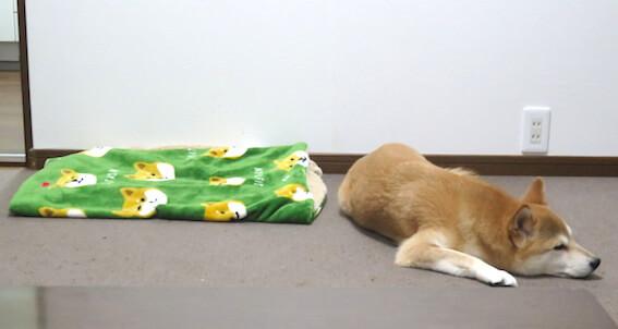 寝ている柴犬の写真