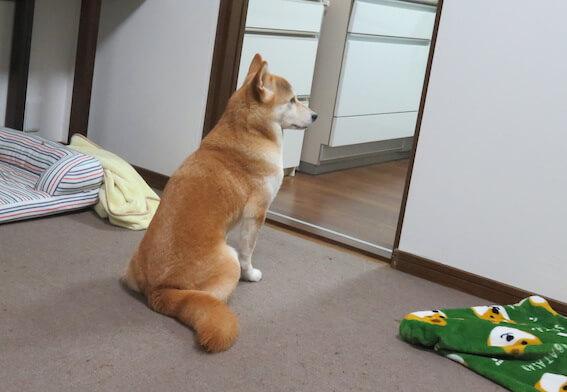 おすわりしている柴犬の背中の写真