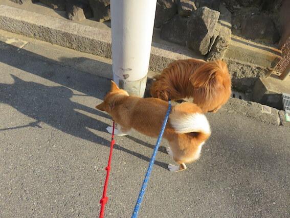 柴犬とMIX犬がつながっている写真