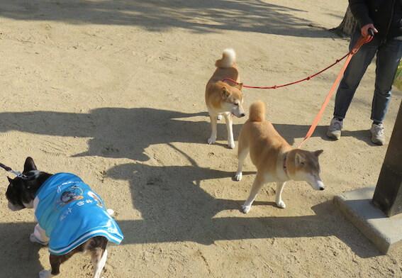 柴犬の散歩の写真