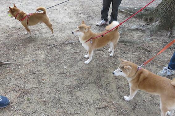 柴犬が並んでいる写真
