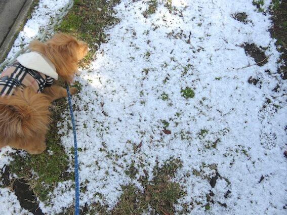 溶け残りの雪の上を歩く犬の写真