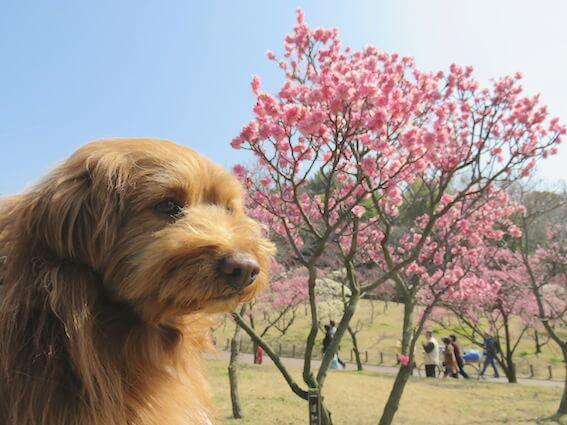 梅林と犬の写真