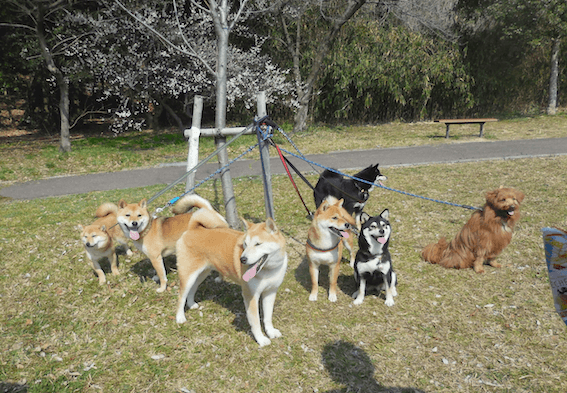 柴犬がたくさん写っている写真
