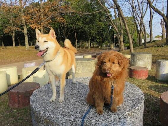 柴犬とMIX犬の写真
