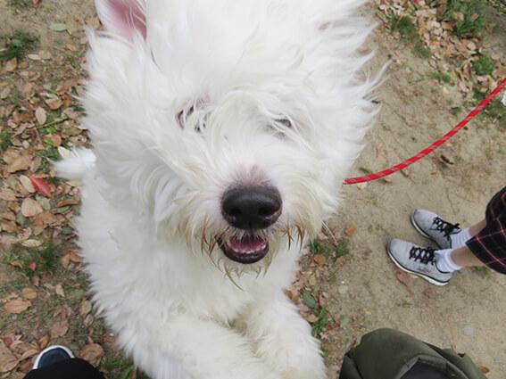 オーストラリアン・ラブラドゥードルの仔犬の写真