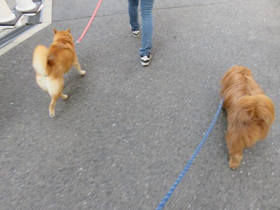 柴犬のお尻の写真