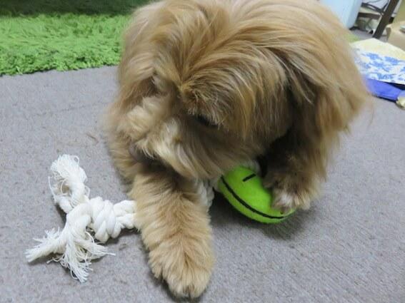 おもちゃを噛む犬の写真