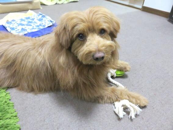 おもちゃを持つ犬の写真