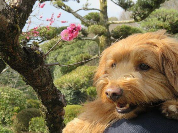 梅と犬の写真