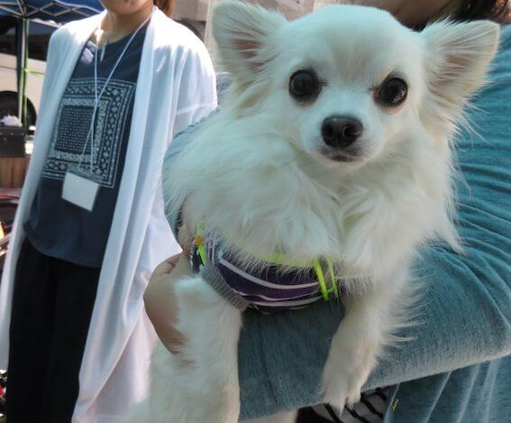 保護犬チワワの写真