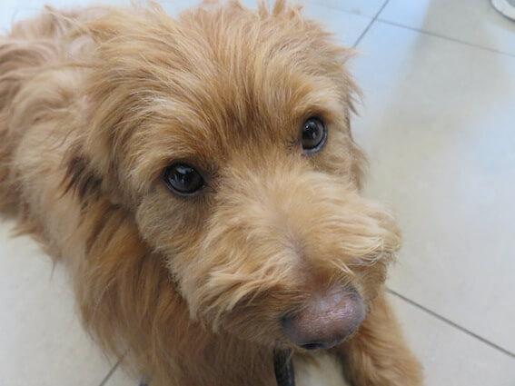 上目遣いの犬の写真