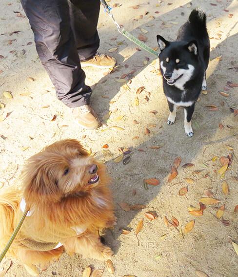 黒柴とMIX犬の写真