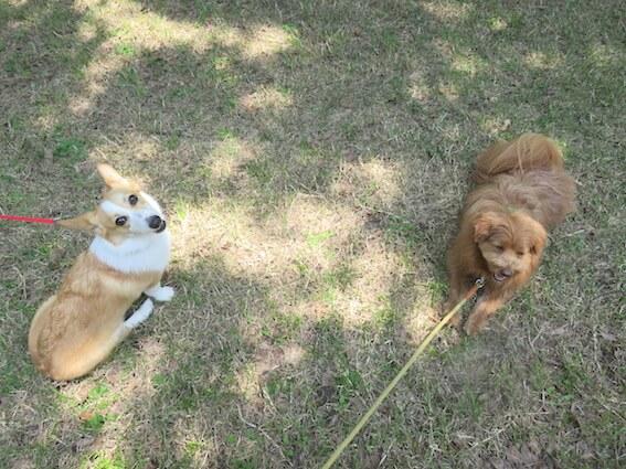 コーギーとMIX犬の写真