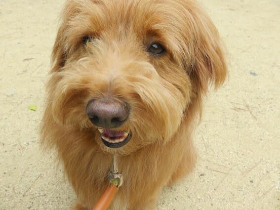 困った顔の犬の写真