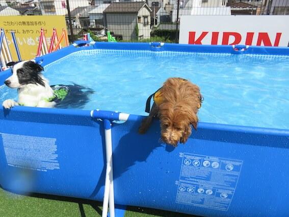 プールから出かける犬
